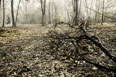 Creepy Foggy Woods. Autumn woods look creepy with a thick layer of fog in the background; a dead branch sets the mood in the foreground; low saturation; shallow Stock Image