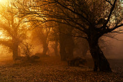 Creepy forest on misty autumn day Royalty Free Stock Photo