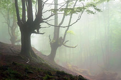 Creepy forest with scary trees. And fog Stock Photo
