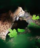 Creepy lynx Royalty Free Stock Photo