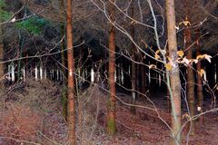 Creepy pine tree wood, Hoegne, Ardennes, Belgium. Creepy young pine and autumn leaf tree wood in the nature reserve park of Hoegne in the Ardennes near the High royalty free stock photo