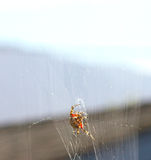 Creepy Spider. A large spider hanging on his web Stock Photos