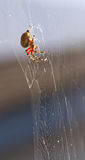 Creepy Spider. A large spider hanging on his web Royalty Free Stock Photography
