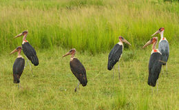 Creepy Storks. A group of creepy looking marabou storks Stock Photography