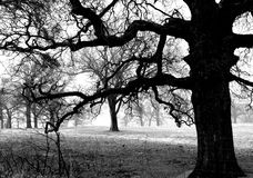 Creepy Tree. A creepy looking tree black and white stock photos