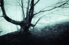 Creepy tree in foggy forest Stock Photo