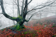 Creepy tree in foggy forest Royalty Free Stock Photo