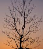 Creepy tree. A creepy tree at the sunset Royalty Free Stock Images