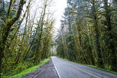 Creepy trees at Hoh Road in the rain forest of Olympic National Park - FORKS - WASHINGTON Royalty Free Stock Images