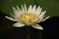 Crema blanca Lotus With Sunlight del flor foto de archivo