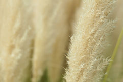 Crema color fluffy plants Royalty Free Stock Photos