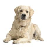 Crema del perro perdiguero de Labrador fotografía de archivo