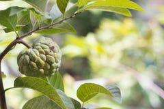 Crema di frutta Fotografia Stock Libera da Diritti