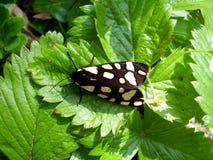 Crema-punto Tiger Moth fotografia stock
