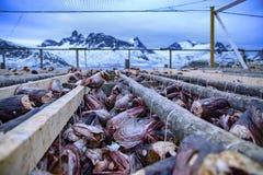 Cremalheira de secagem tradicional dos peixes conservados em estoque em Noruega com montanha nevado Foto de Stock Royalty Free