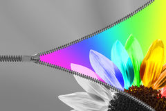 Cremallera que revela un girasol Fotos de archivo libres de regalías