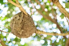 Crematogaster rogenhoferi ant nest Royalty Free Stock Photography