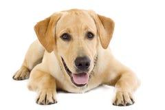 Creme assentado do retriever de Labrador do filhote de cachorro foto de stock