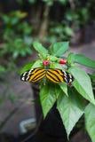 Creme-beschmutztes Tigerwing Lizenzfreies Stockbild