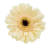 Creme colored gerbera. Beautiful creme colored gerbera isolated on a white background royalty free stock images