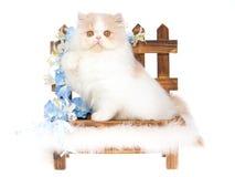 Creme e gatinho persa branco no bnehc de madeira fotografia de stock