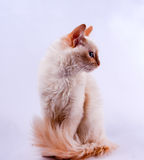 Creme pointed cat profile. Creme pointed Balinese cat profile Stock Photo