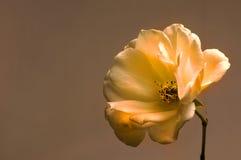 Creme Rose Stock Image