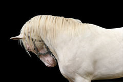 Creme stallion stock photo