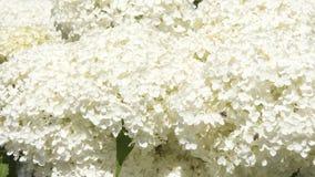 Creme white hydragena - background Royalty Free Stock Image