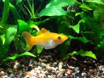 Cremecicle Lyretail Molly. Poecilia latipinna swimming in planted tropical fish tank Royalty Free Stock Photos