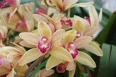 Cremefarbene Orchidee Stockfoto