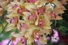 Cremefarbene Orchidee stockbild