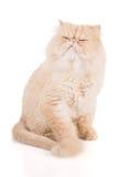 Cremefarbene persische Katze mit gestörte Ansichten des Gesichtes stockfotografie