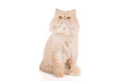 Cremefarbene Stellung der persischen Katze des kurzen Haares stockfoto