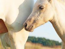 Cremello威尔士与妈妈的小马驹 免版税库存照片