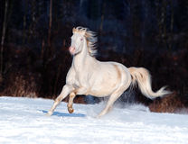 Cremello威尔士小马奔跑在冬天释放 免版税图库摄影