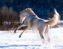 Cremello威尔士小马 免版税库存照片