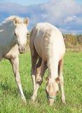 Cremello威尔士小马foales在牧场地 免版税库存图片