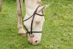 Cremello покрасило лошадь Стоковое Изображение