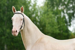 Cremello achal-tecke stallion. On green background Stock Photography