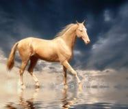 Cremello Akhal-Teke Imagem de Stock Royalty Free
