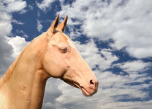 Cremello Akhal-Teke Royalty Free Stock Images