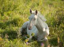 Cremello akhal-teke foal resting in a flowering meadow stock photography