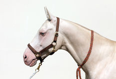 Cremello akhal-teke horse. With blue-eyed stock images
