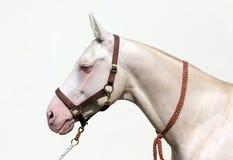 Cremello akhal-teke horse Stock Images