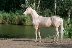 Cremello akhal-teke horse stallion portrait. In summer stock photography