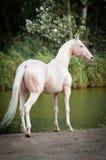 Cremello Akhal-teke stallion portrait. In summer Stock Image