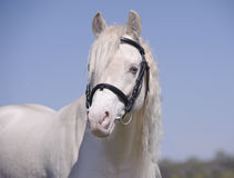Cremello horse in bridle portrait Stock Photo