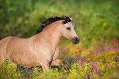 Cremello ponny i blommor arkivbilder