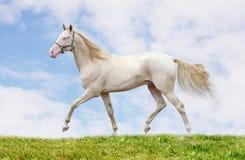 Cremello stallion on grass royalty free stock image